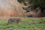 Upolował wilka