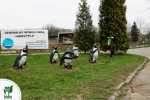 Pingwiny wracają do chorzowskiego zoo